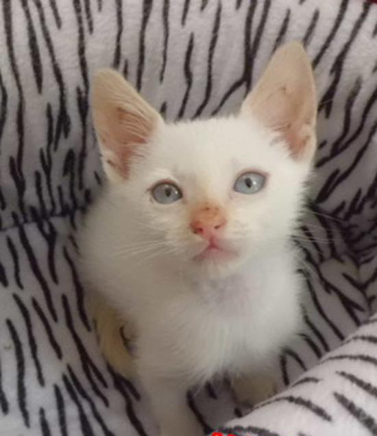 septiembre 2013 Edad 2 mes Sexo macho Situación Está en una casa de acogida en Cornellà. Descripción del gato Gatito mezcla siamés, de color blanco