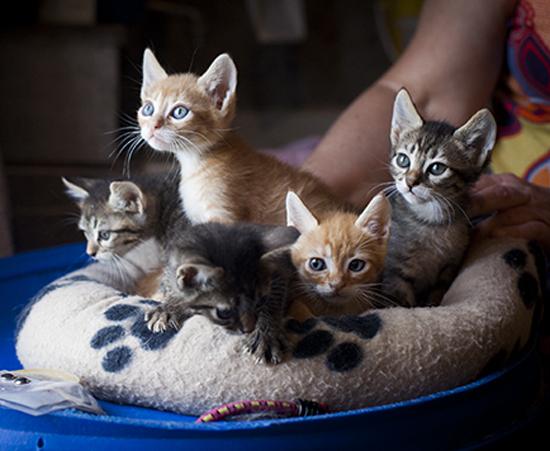 nacimiento 15 de Julio de 2014 Sexo 2 machos y 3 hembras. Situación Cornellà de Llobregat. Descripción del gato Los dos machos son los naranjas y