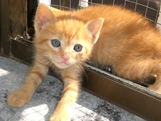 Gato europeo de pelo corto naranja